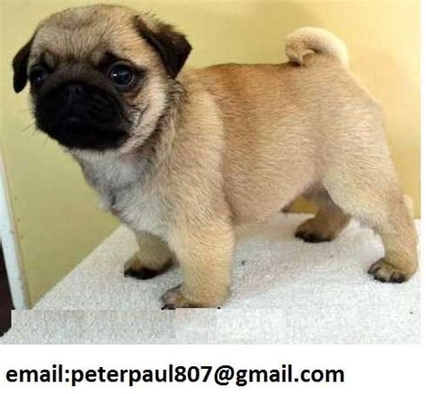 pug breeders adelaide pug puppies for sale for sale adoption from kolendo station south australia
