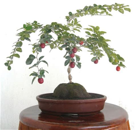 Bakalan Bonsai Jeruk Kingkit bahan bonsai jeruk kingkit