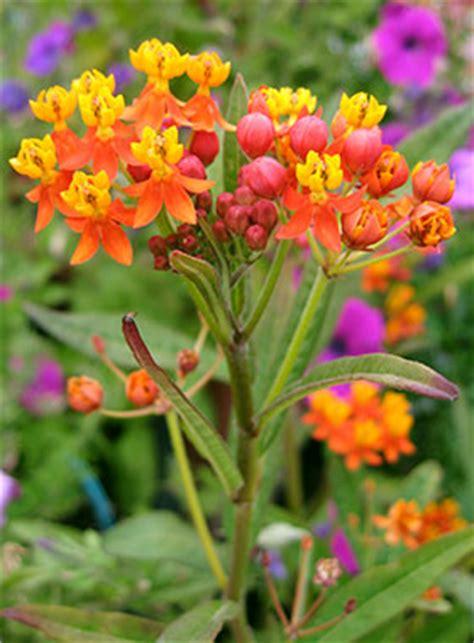 Annie's Annuals & Perennials: Meet the Milkweeds! Asclepias Cancellata