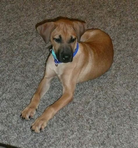what is a cur black cur maybe