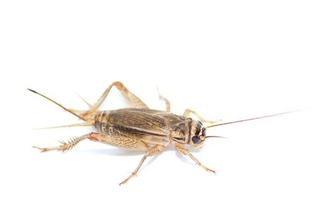 house cricket clegg s termite and pest controlclegg s news category posts clegg s termite and