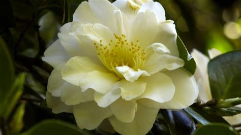 top 28 camellia flower care camellia pink perfection
