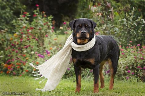 why does my rottweiler sit on me 1586 best images about spoiled rotten rotties on best dogs rottweiler