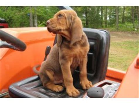 bloodhound puppies for sale in tn bloodhound puppies for sale liver and bloodhound boys