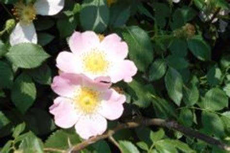 Stecklinge Herstellen by Rosenstecklinge Bewurzeln 187 So Gelingt S