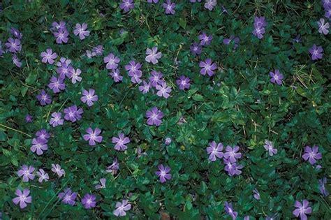 piante con fiori perenni fiori perenni piante perenni coltivare fiori perenni