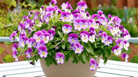 full hd wallpaper pansies vase bouquet blurry background
