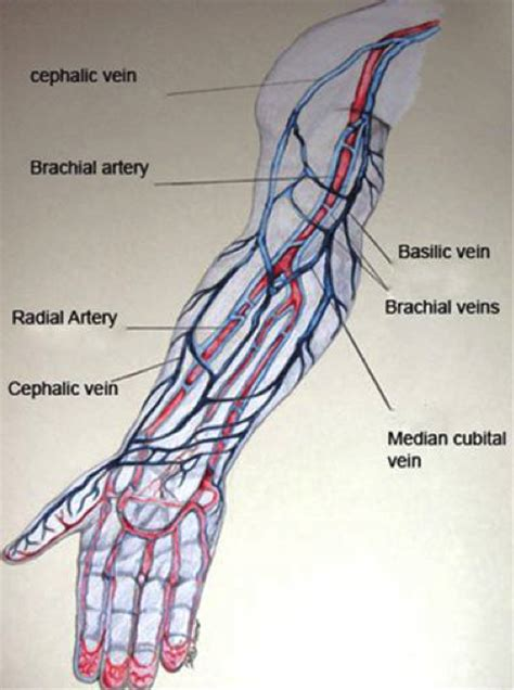 arm veins diagram veins a career in phlebotomy through cnm