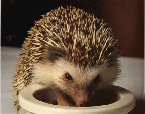 Ulat Hongkong Kering Makanan Hamster Protein Tinggi miels hedgehog makanan landak mini