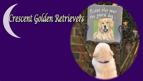 golden retriever puppies orlando golden retriever breeders florida orlando photo