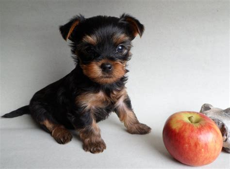 mini yorkie info miniature k c terrier puppies radstock somerset pets4homes
