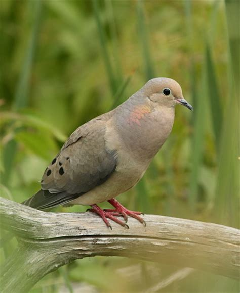 this adult male mourning dove was cooing at koll wetlands