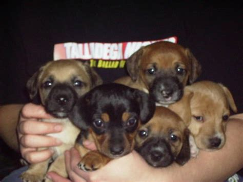 chiweenie puppies for free chiweenie puppies chihuahua dachshund for sale adoption from melita