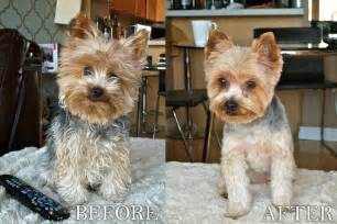 before and after terriers hair cut my wife asked me to help cut our yorkies hair pics