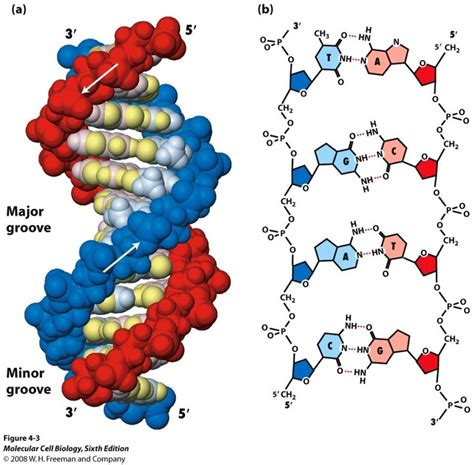 dna molecule diagram dna diagrams diagram site