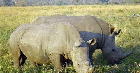 imagenes sin copyright com imagenes sin copyright dos rinocerontes comiendo en la sabana