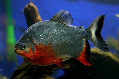 bellied pacu flickr photo