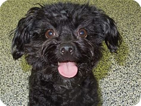 pomeranian mini poodle mix adopted washington pa poodle miniature pomeranian mix