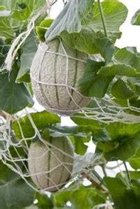 coltivare meloni in vaso come coltivare il melone orto e vaso avr 242 cura di te