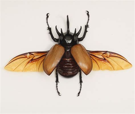 glass beetle tattoo rhinoceros beetle this is gonna be one of the many