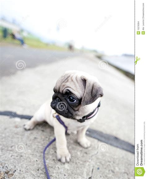 sad pug puppy sad pug puppy stock images image 15276304