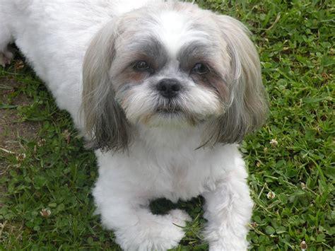 fotos de shih tzu shih tzu lindas fotos de cachorros da ra 231 a melhoramigo
