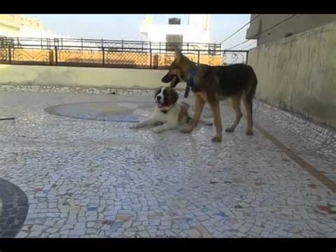 pug vs german shepherd bernard fight with pug breed funnydog tv