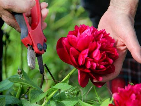 roses back vcut pruning and cutting peonies diy