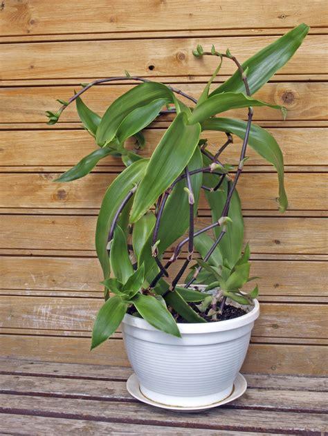 callisia basket plants learn  growing callisia plants