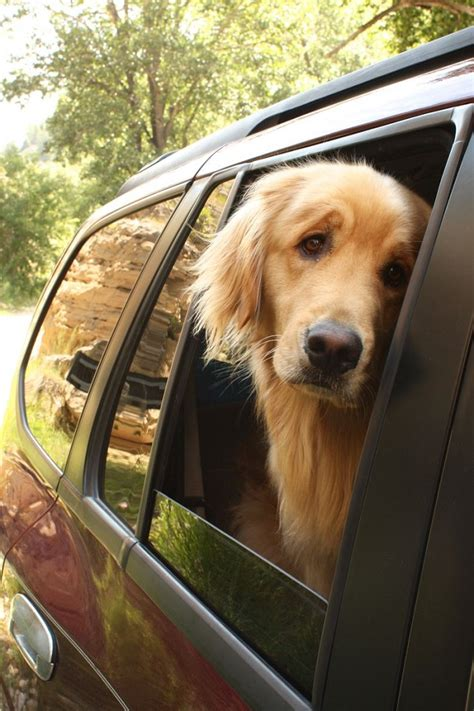 why are golden retrievers so friendly 17 reasons golden retrievers are not the friendly dogs everyone says they are sivar