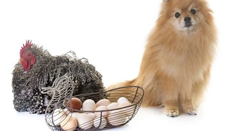 can dogs eat egg shells can dogs eat eggs dogtime