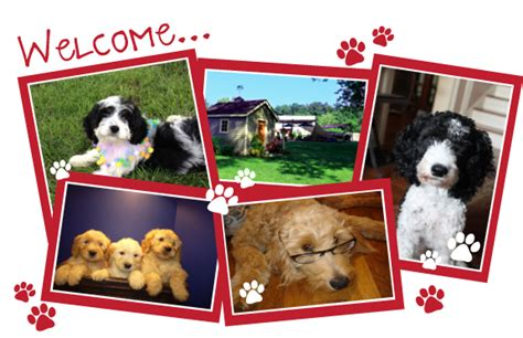 doodle puppy mill welcome to mill doodles