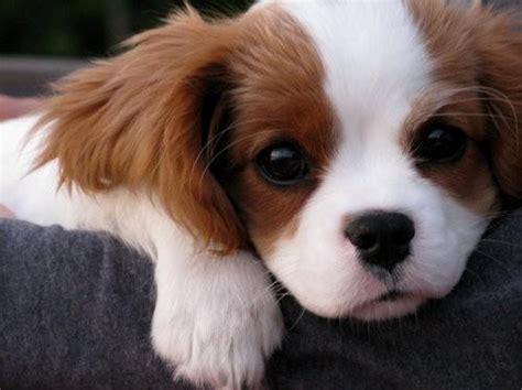 kleine hunde pin tiere hunde welpen border collies desktop hintergr 188 nde