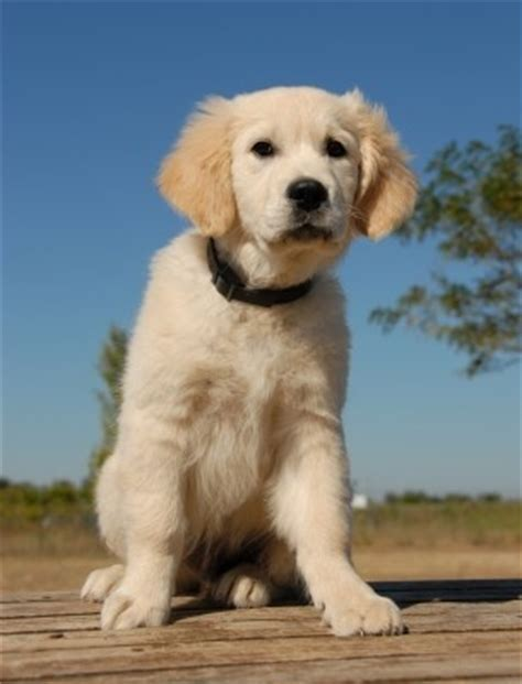 golden retriever coughing what is kennel cough