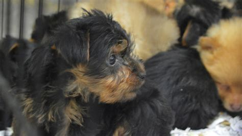 smuggling puppies suspended term for who tried to make buck smuggling puppies wales