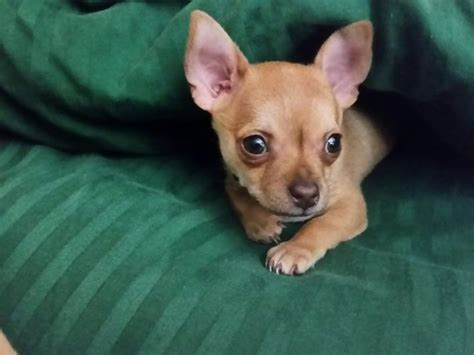 how to care for a 6 week puppy how to care for your chihuahua puppy with pictures wikihow