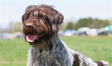 wirehaired pointing griffon puppy wirehaired pointing griffon breed information