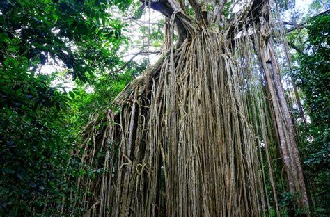 curtain fig tree yungaburra accommodation things to do