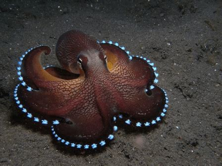 Octopus L Bioluminescent Octopus L Dweller Our Breathing Planet