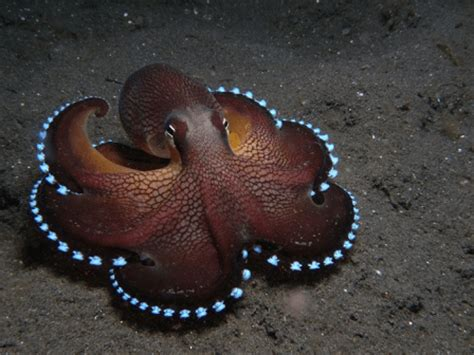 octopus l bioluminescent octopus l deep dweller our breathing planet