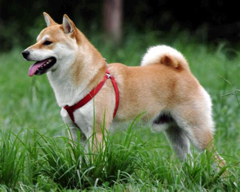 shiba dogs ファイル shiba inu jpg