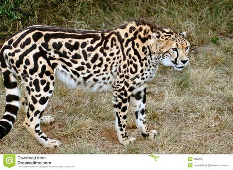 imagenes de jaguar blanco king cheetah royalty free stock photos image 388928