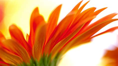Orange Flowery orange flower wallpaper