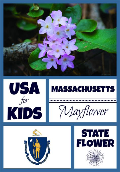 states flowers massachusetts state flower mayflower by usa facts for kids