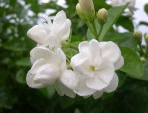 Parfum Casablanca Putih 7 bunga cantik dan wangi yang bisa menjadi parfum alami