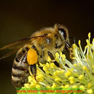 Paket Madu Lebah Mellifera Asli 3 Jenis Nektar tanaman bunga banyak nektar dan pollen yg disukai lebah madu ternak klanceng lebah madu di