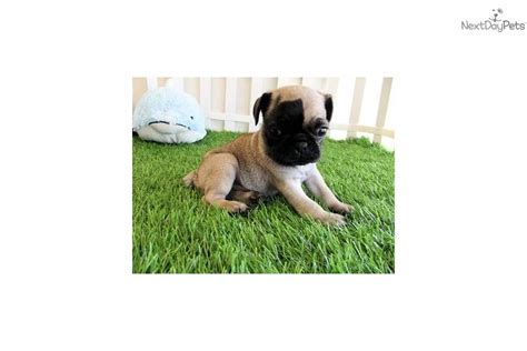 pug puppies for sale stockton ca pug puppies for sale in california breeds picture