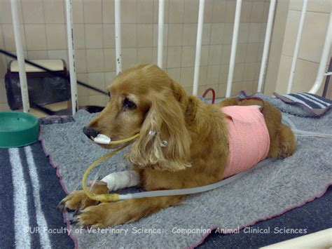 oxygen tank for dogs oxygen therapy dogs pictures to pin on pinsdaddy