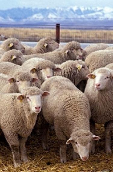 animali da cortile definizione la pecora pecore e capre caratteristiche della pecora