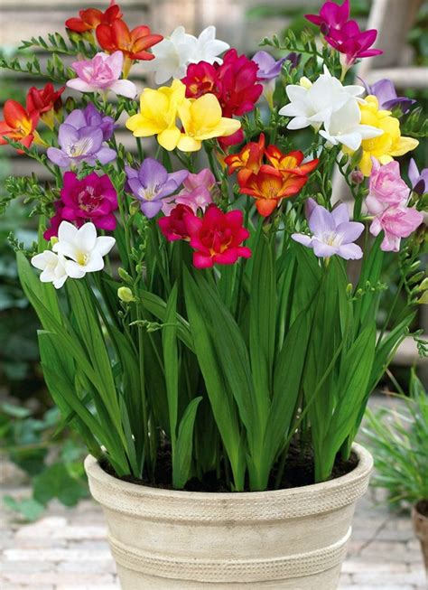 i love these flowers and they smell soo good like honey freesia little garden pinterest
